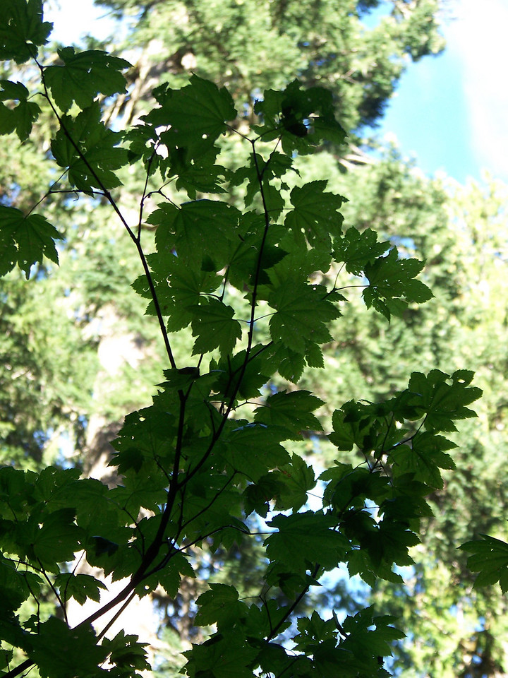 The leaves of a vine maple tree.  This is the only non-evergreen tree here that will turn brilliant shades of red and gold in a few weeks.<br /> [Mount Rainier - Grove of the Patriarchs]