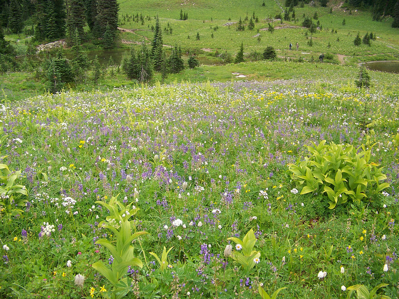We scattered the remainder of Mom's ashes among the profusion of wildflowers that were on this hillside above Tipsoo Lake.  It's a very appropriate place for them, and I'm so glad we could fulfill her wishes to do this.<br /> [Mount Rainier]