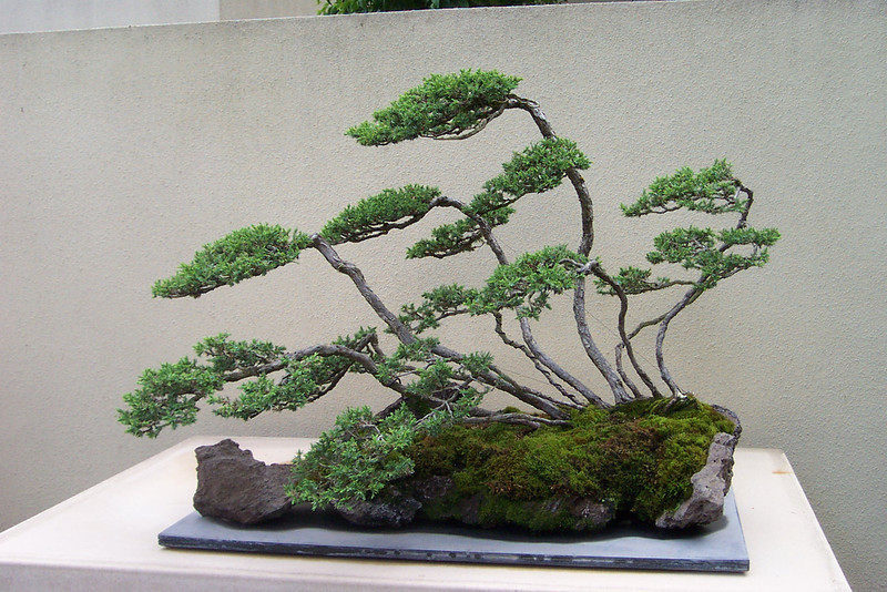 Next door to the Rhododendron Garden is the Weyerhaeuser bonsai collection.