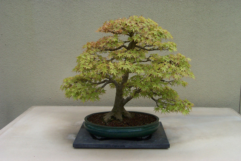 Weyerhaeuser bonsai collection.  The leaves on this little tiny maple tree will turn colors in the fall, too.
