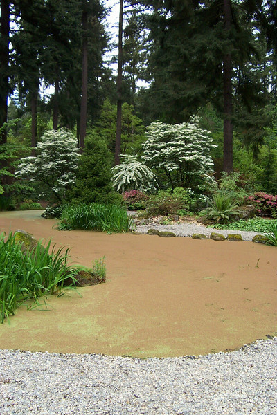 The other side of the pond, with the surface covered by the tiny fern Azolla.<br /> [Rhododendron Species Botanical Garden]