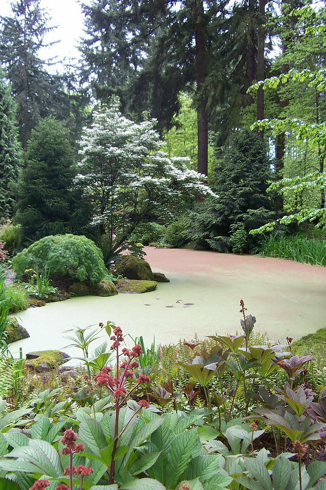 The pond does look like a solid surface, doesn't it?  As the sign in the previous shot says, it's covered by a tiny fern called Azolla.<br /> [Rhododendron Species Botanical Garden]