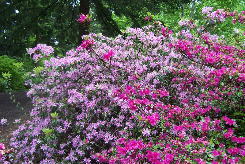 """We visited the <b><a target=""""_new"""" href=""""http://www.rhodygarden.org"""">Rhododendron Species Botanical Garden</a></b>, which is in the town of Federal Way, Washington on the grounds of Weyerhaeuser's corporate headquarters (a huge lumber company)."""