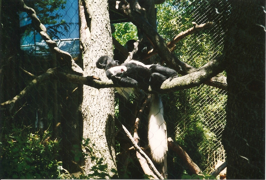We visited the Woodland Park Zoo.  For some odd reason, this is the only picture I took that day.  I do love the overly-dramatic pose/expression that this monkey is making with his head thrown back.