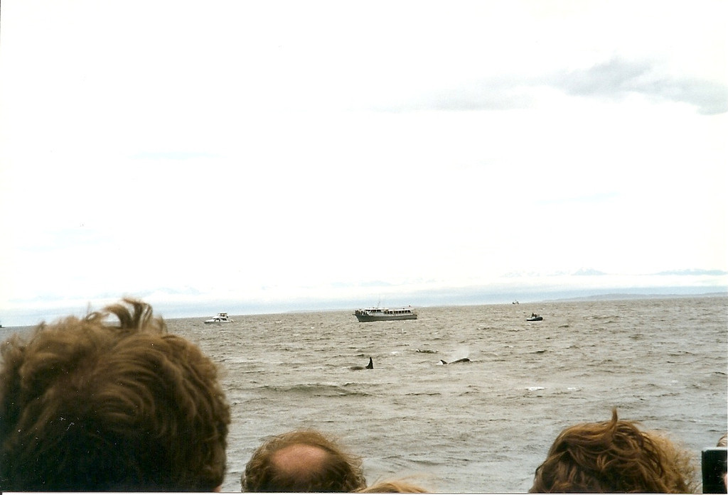 Of course, the more whales there are in one place, the larger a crowd of boats they attract.