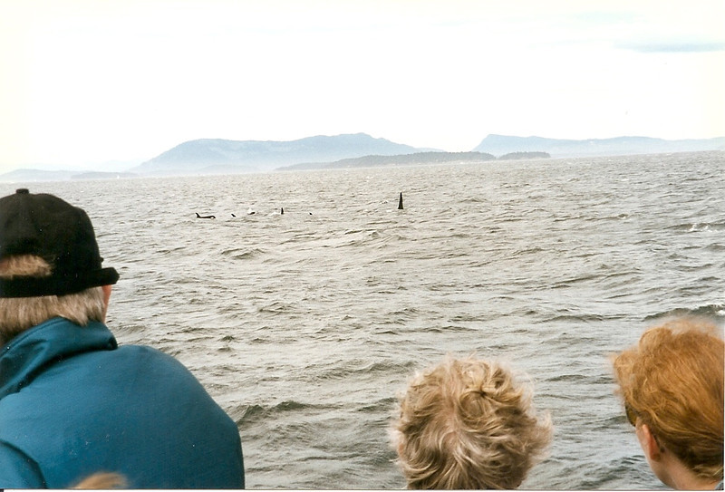 There are several pods (family groups) of orcas that live in these waters year-round.