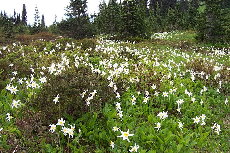 These are Avalanche Lillies.  They're one of the first to bloom at this elevation.