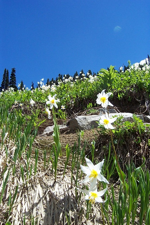 Avalanche lillies.