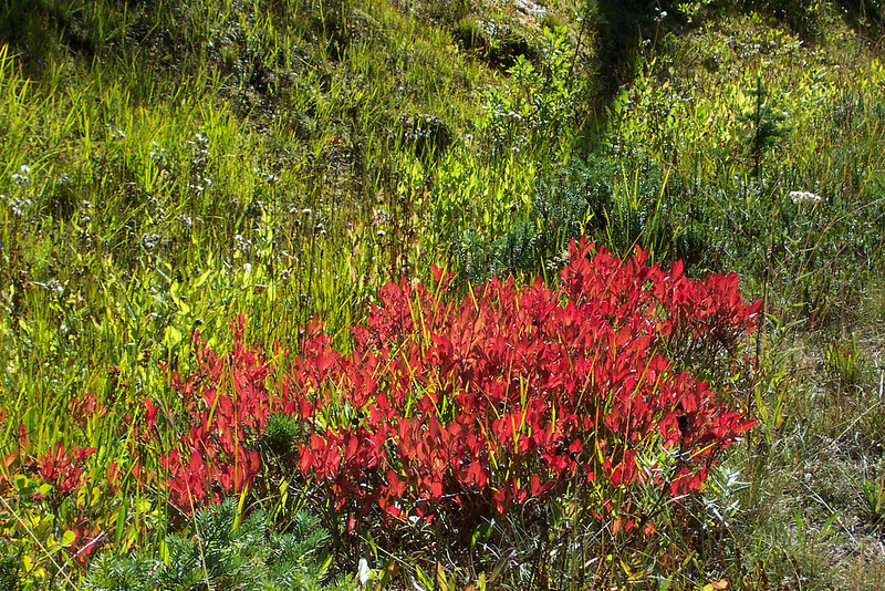 The sun hit these plants at just the right angle to bring out the vivid red.  Mom thought they were a type of heather.