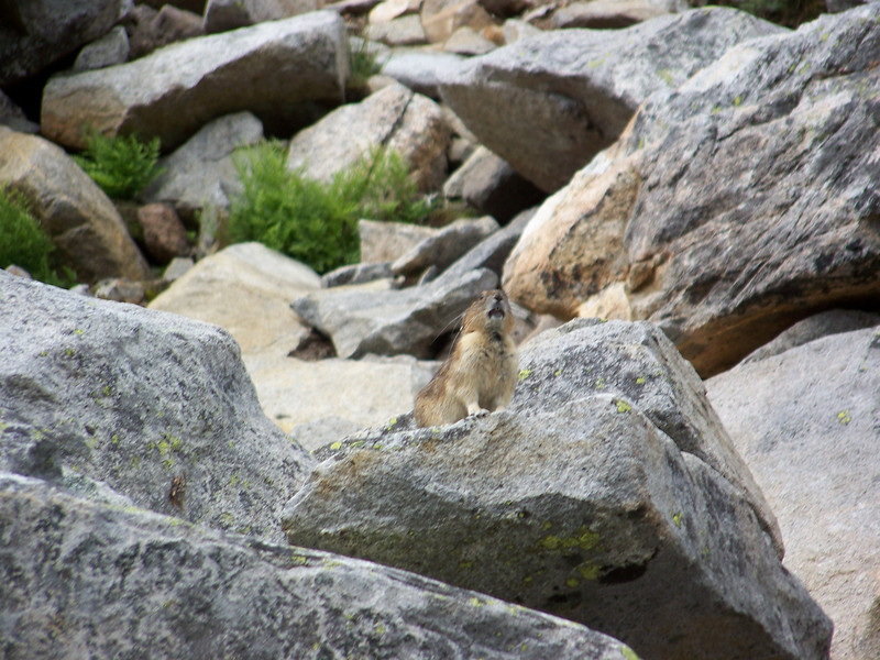 A little further on, the path went right by a hillside of loose rocks.  This is prime marmot area, so I stood very still for a couple minutes.  Instead of a marmot, this little guy suddenly popped up.