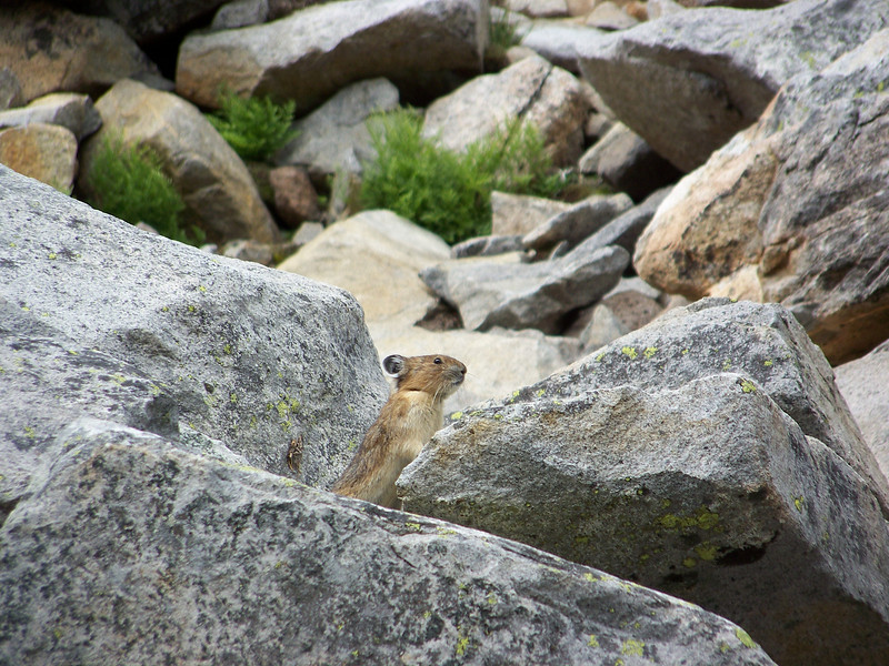 This is a pika.  They're very similar to rabbits, but instead of long ears they have short round ones.  He was cute!