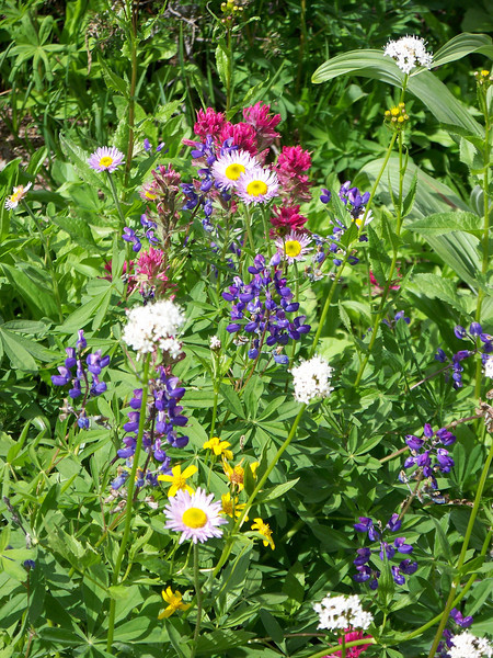 The flowers included lupines (blue), Indian paintbrush (reddish-pink), daisy-like asters (yellow centers with pale pink petals), groundsel (yellow), and Sitka valerian (white).