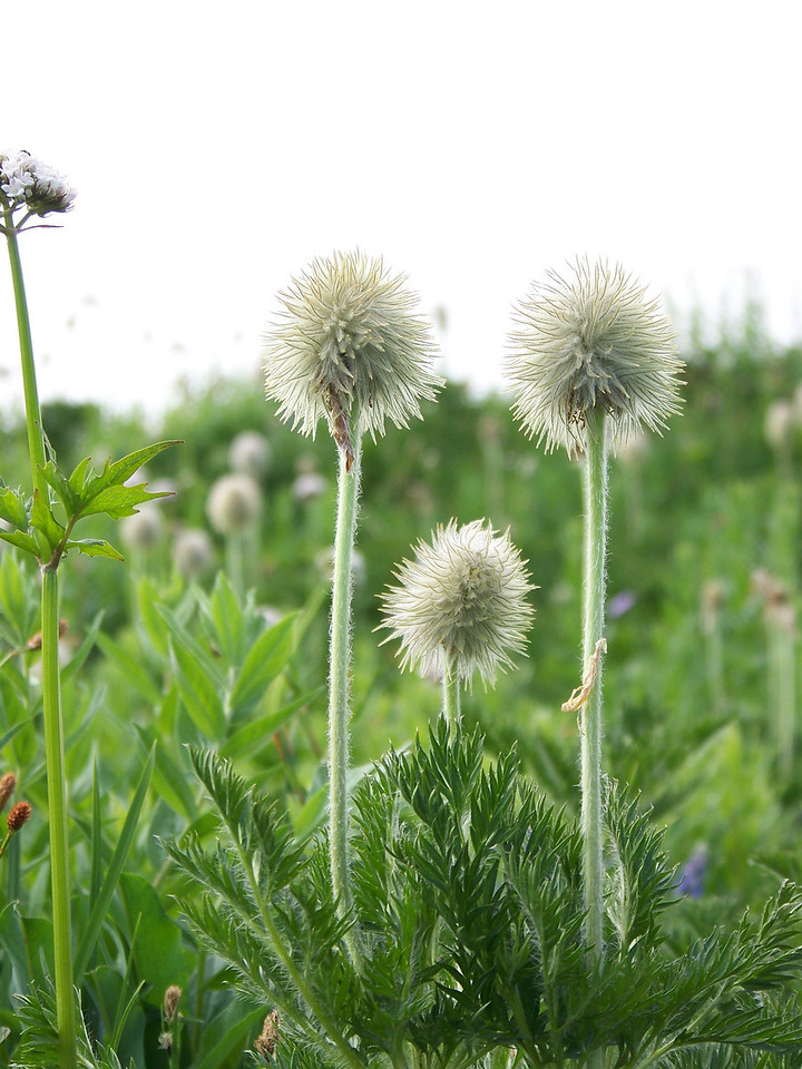 """These will become the fuzzy """"mouse tail"""" seedpods of the anemone (also called Western Pasqueflower) in a few weeks--if it doesn't snow too much first!"""