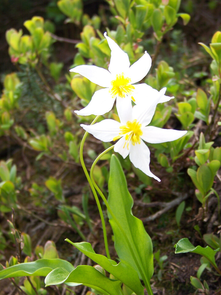 An avalanche lily blooming at Paradise.  These are some of the first flowers that typically bloom each summer.