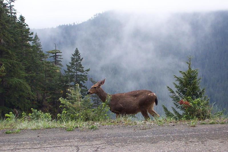 We saw this deer on our drive up to Hurricane Ridge.  We almost didn't bother going all the way to the top due to the fog you can see in the background.  On the Port Angeles side of the mountains, it was very thick.