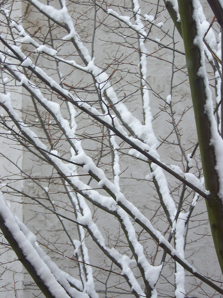 December 22, 2008.  The tree outside my kitchen window.  This tree is sheltered between two buildings, but was still nicely covered.