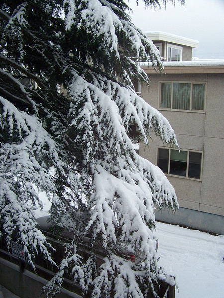 December 22, 2008.  Compare the amount of snow now on the pine tree to the photo above.