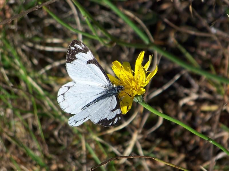 Butterfly seen at Longmire.<br /> [Mount Rainier]