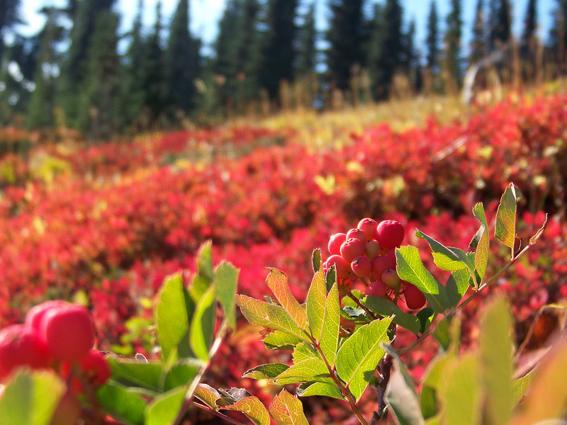 We saw a number of bushy plants at Paradise whose leaves were still green, but were displaying large amounts of bright red berries.  I think this may be mountain ash.  The red leaves in the background are most likely huckleberry bushes.<br /> [Mount Rainier]