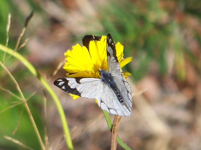 Butterfly at Longmire.<br /> [Mount Rainier]