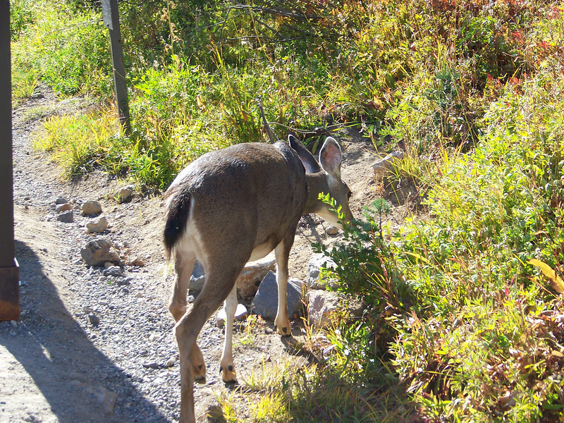 A foraging deer was right by the trail at Paradise, and didn't seem very concerned with us!<br /> [Mount Rainier]