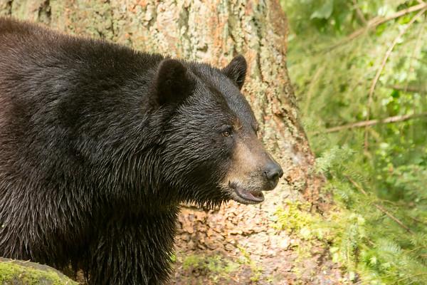 Northwest Trek Black Bear Pictures