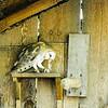 Barn Owl eating a mouse at Northwest Trek