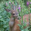 Blacktail Deer in Northwest Trek