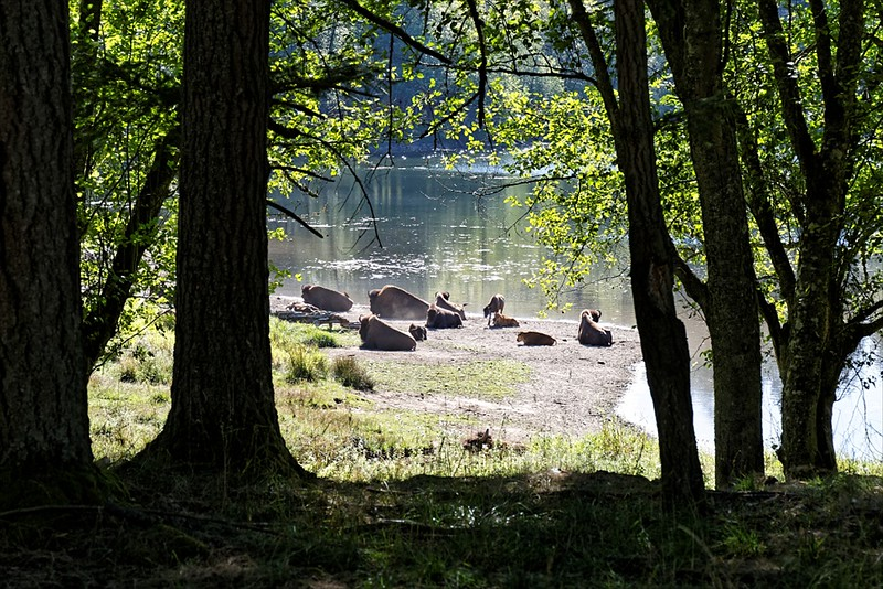 Bison by the lake