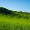 Palouse wheat fields in spring, green fields.