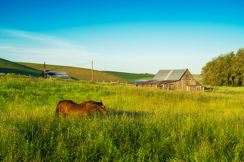 Palouse wheat fields in spring, green fields, dawn, morning light, western horse barn, horse