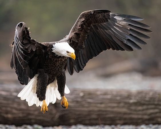 Bald Eagle lands