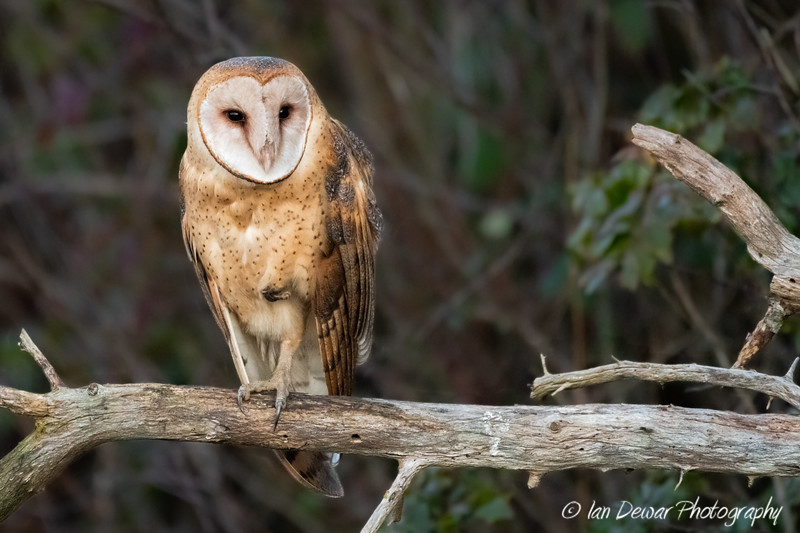 The Watching Barn Owl