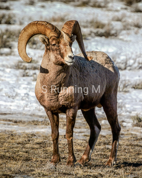 Regal Rocky Mountain Ram