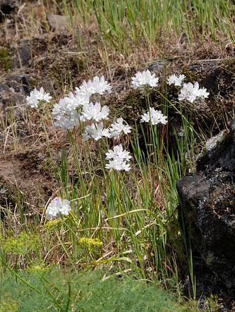 Bicolored custer lily