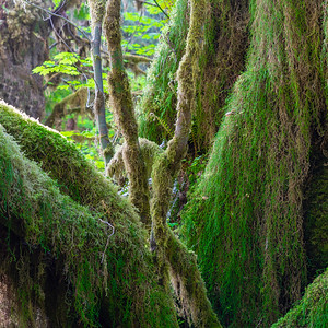 Spruce Trail, Hoh Rain Forest