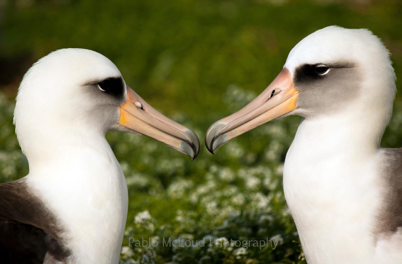 Albatross Love