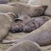 Northern Elephant Seal (Mirounga angustirostris), phylum chordate - class mammal - order carnivore.  Point Piedras Blancas, San Simeon, CA.