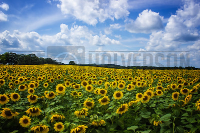 Field of Sunflowers - Pope Farm Conservancy - Wisconsin