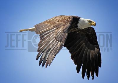 Bald Eagle in Flight - Northern Wisconsin