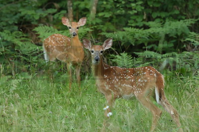 Whitetail Fawns - Northern Wisconsin