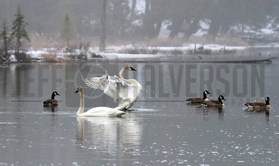 Mamie Lake - Cisco Chain - Trumpeter Swans & Geese - Northern Wisconsin