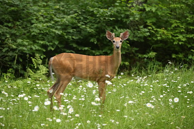 Whitetail Buck - Northern Wisconsin