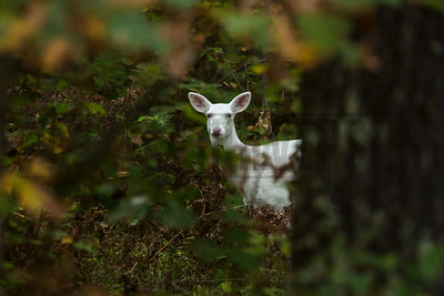 Albino Whitetail Deer - Boulder Junction, WI