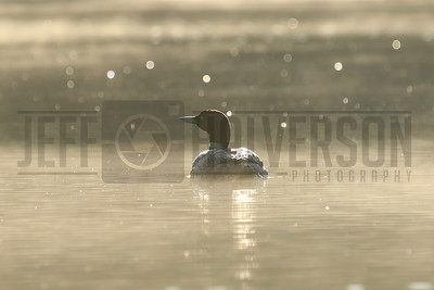 Common Loon - Northern Wisconsin