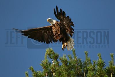 Bald Eagle - Northern Wisconsin