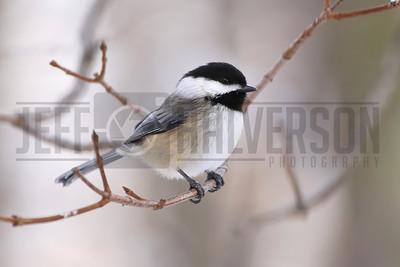 Winter Chickadee - Northern Wisconsin