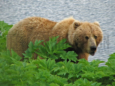 Kodiak Brown Bear - Kodiak Island, Alaska