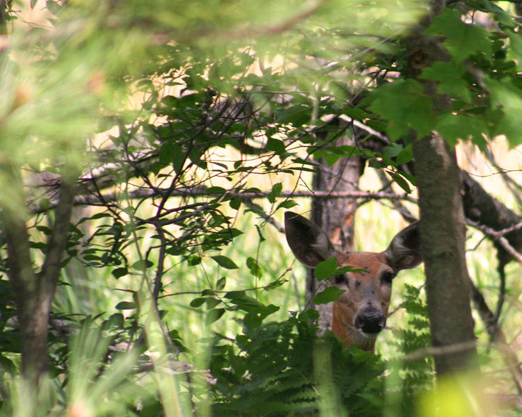 In a New Light: Wildlife Safari -Logan- Deer in Trees.