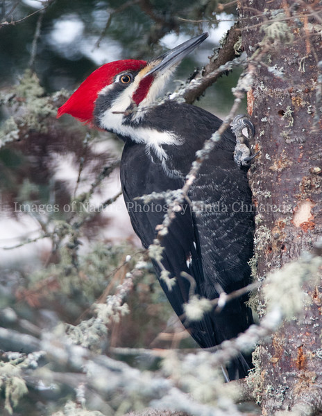Pileated WP, I'll Find You